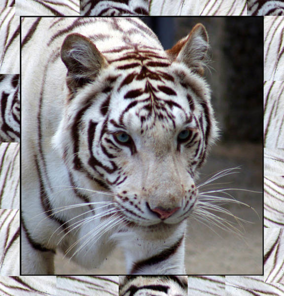 Photograph - Matted White Tiger by Tony and Kristi Middleton