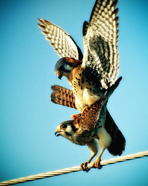 Photograph - Matting Hawks by Daniel Marcion