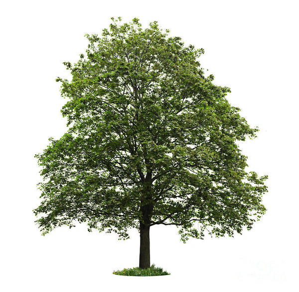 Leafy Greens Photograph - Mature Maple Tree by Elena Elisseeva