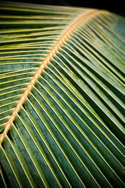 Wall Art - Photograph - Maui Christmas Palm by Patrick  Flynn