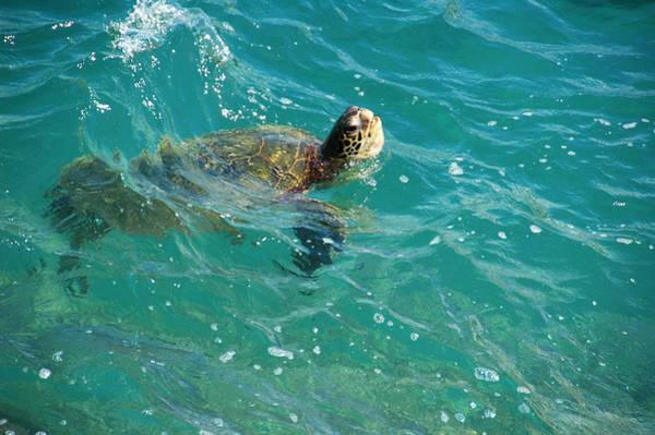 Photograph - Maui Sea Turtle by Lynn Bauer