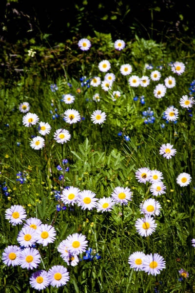 Photograph - Meadow Of Daisies by David Patterson