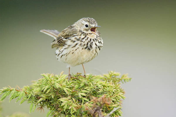 June Photograph - Meadow Pipit (anthus Pratensis), Adult Perched On A Juniper Bush (juniperus Communis), And Calling, Scotland by Duncan Shaw
