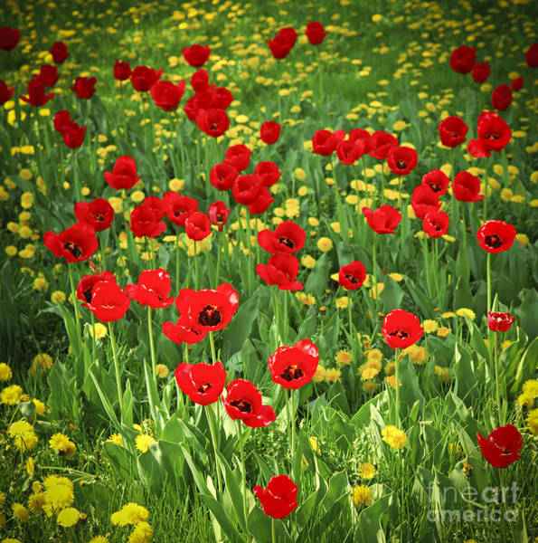 Meadow Photograph - Meadow With Tulips by Elena Elisseeva