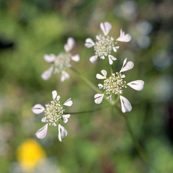Photograph - Mediterranean Hartwort Tordylium Apulum by Paul Cowan
