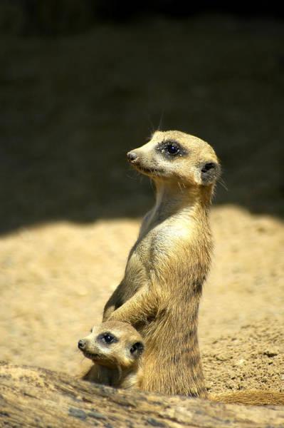 Meerkat Mother And Baby Art Print