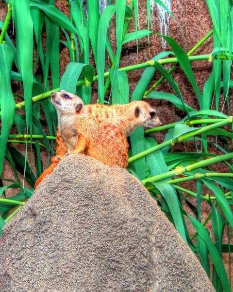Photograph - Meerkats by Barry Jones