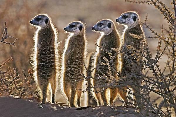 Wall Art - Photograph - Meerkats by Tony Camacho