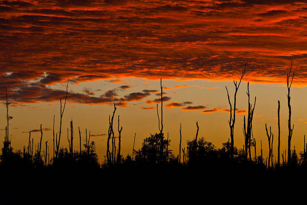 Photograph - Melaleuca Treetops At Sundown by Ed Gleichman