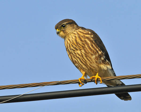 Photograph - Merlin by Tony Beck