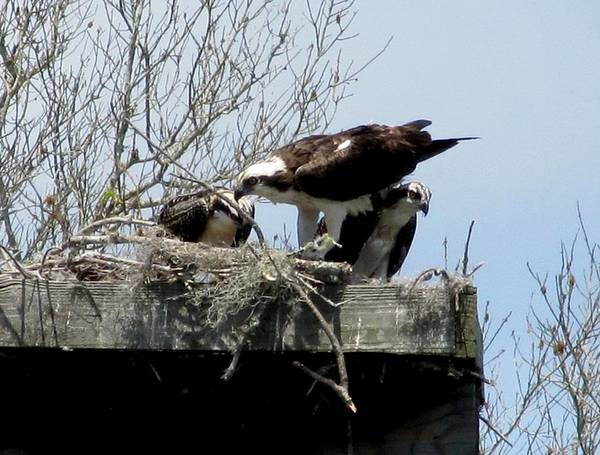 Photograph - Merritt Island Ospreys by Keith Stokes