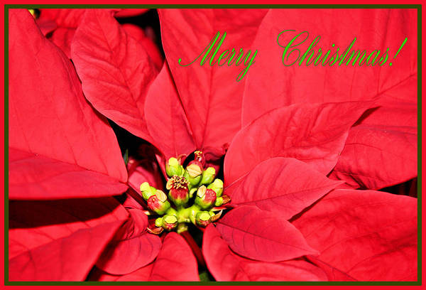 Photograph - Merry Poinsettia by Kristin Elmquist