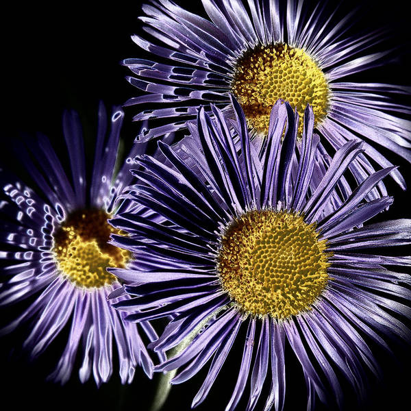 Solarized Photograph - Metallic Daisies by David Patterson