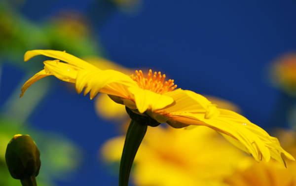Photograph - Mexican Sunflower Tree 2 by Melanie Moraga