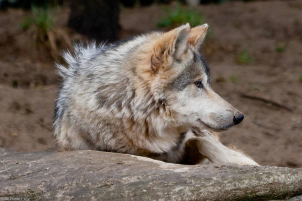Photograph - Mexican Wolf by Keith Allen