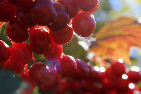Photograph - Michigan Pin Cherries by Scott Hovind