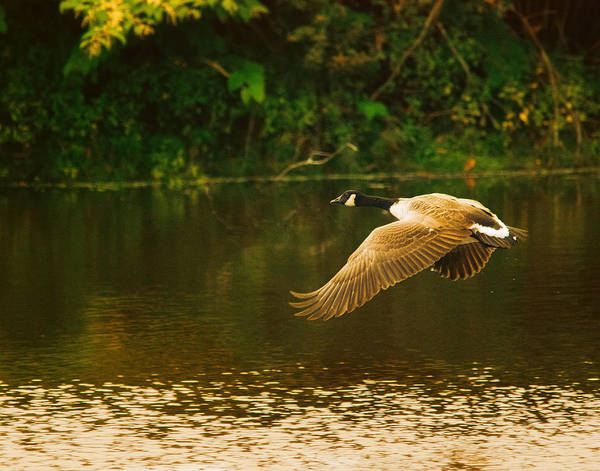 Canadian Goose Photograph - Midmorning Launch by Susan Capuano