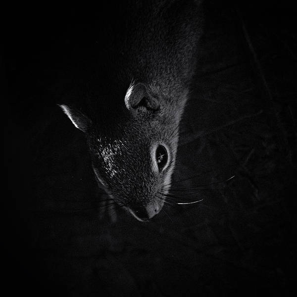 Red Squirrel Wall Art - Photograph - Midnight Raider by Susan Capuano