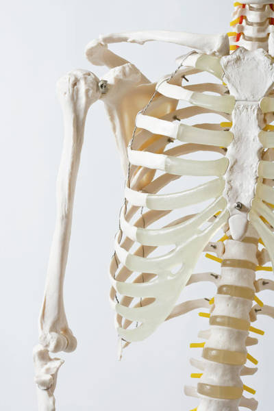 Cage Photograph - Midsection Of An Anatomical Skeleton Model by Rachel de Joode