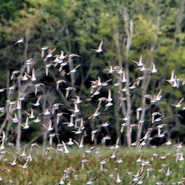 Nature Seekers Photograph - Migratory Birds - Sandpipers by Penni D'Aulerio