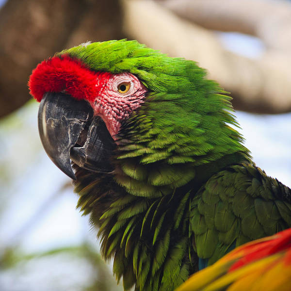 Photograph - Military Macaw Parrot by Adam Romanowicz