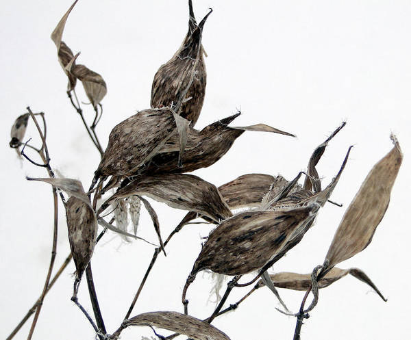 Mixed Media - Milkweed In Winter by Bruce Ritchie