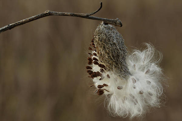 Photograph - Milkweed Seed Pod Opening by Daniel Reed