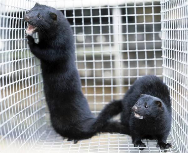 Trapping Photograph - Mink Fur Farm by Ria Novosti