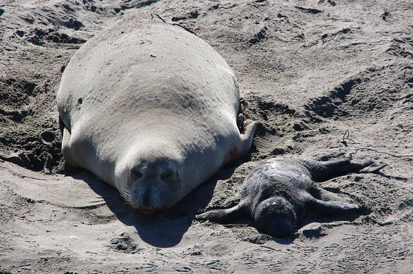 Photograph - Mommy And Baby Elephant Seals by Jeff Lowe