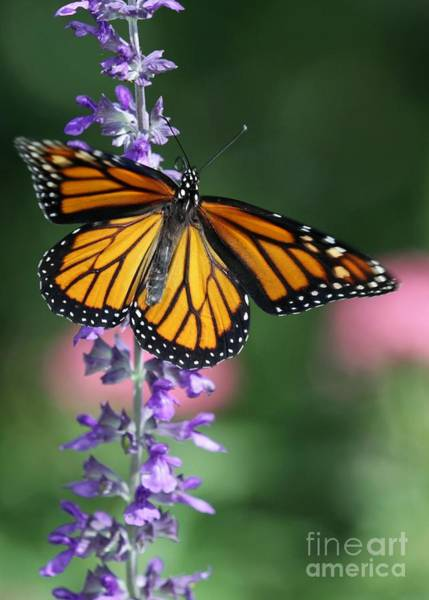 Photograph - Monarch Beauty by Sabrina L Ryan