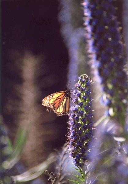 Photograph - Monarch Butterfly by Cynthia Marcopulos