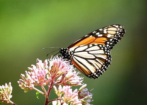 Photograph - Monarch Butterfly On Joe-pye by Mary McAvoy