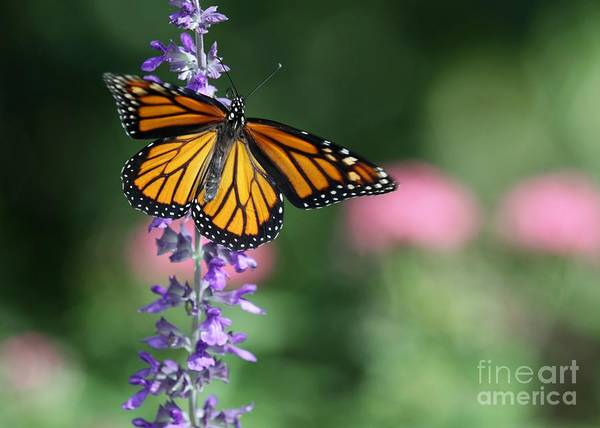 Photograph - Monarch Butterfly On Purple Flowers by Sabrina L Ryan