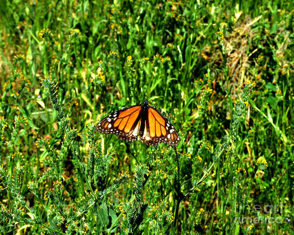 Photograph - Monarch Butterfly Photograph by Kristen Fox