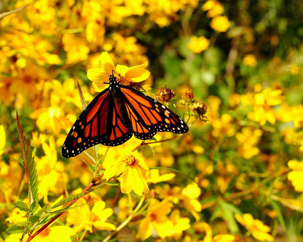 Flutterby Wall Art - Photograph - Monarch Butterfly by Frozen in Time Fine Art Photography