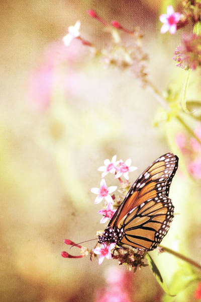 Monarch Butterflies Photograph - Monarch Canvas by Joel Olives
