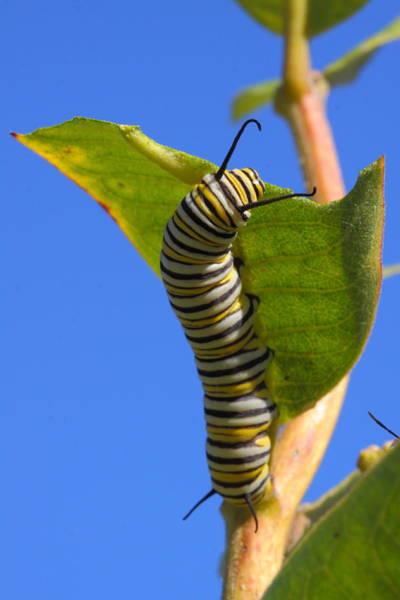 Wall Art - Photograph - Monarch Caterpillar by Bruce J Robinson