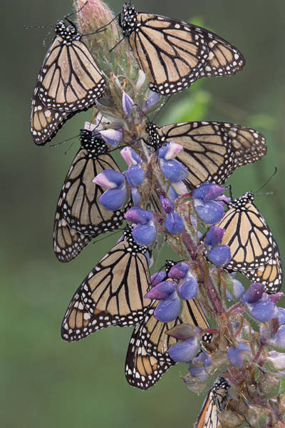 Photograph - Monarch Danaus Plexippus Butterflies by Tim Fitzharris