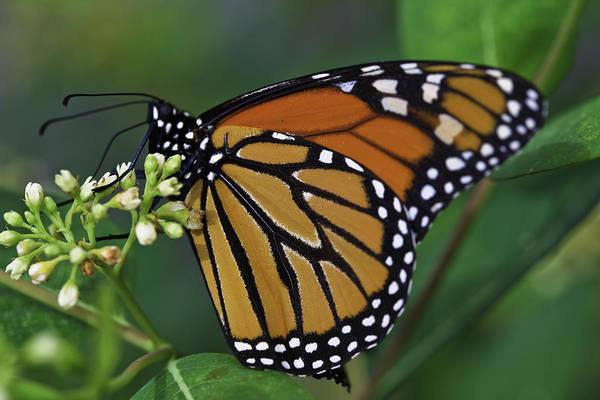 Photograph - Monarch by Perla Copernik