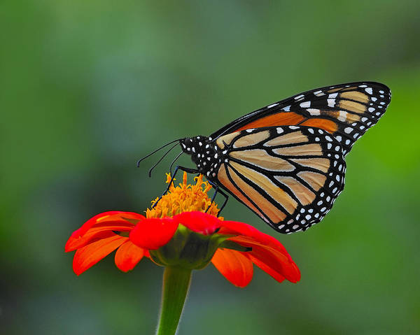 Photograph - Monarch by Tony Beck