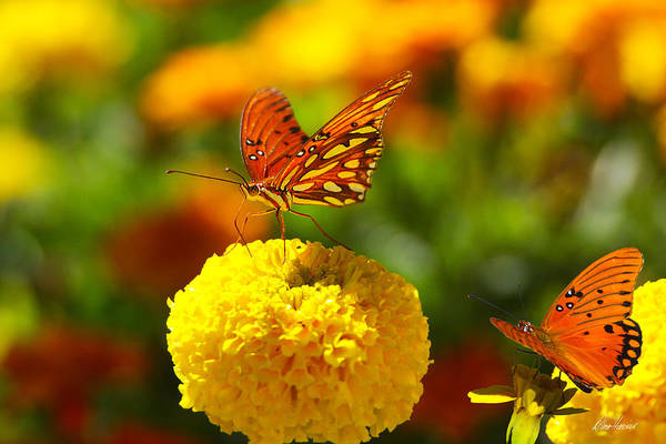 Photograph - Monarchs On Marigolds by Diana Haronis