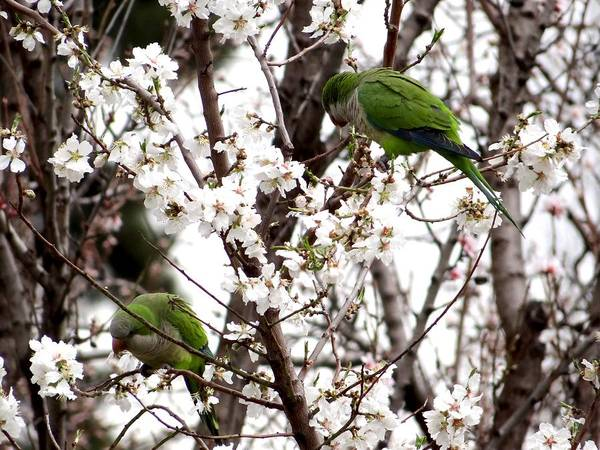 Photograph - Monk Parakeets by Keith Stokes