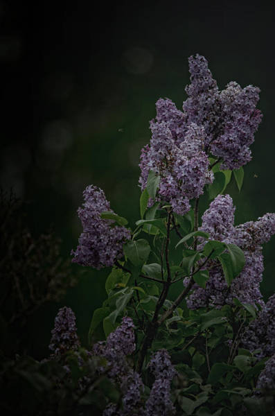 Flowering Trees Photograph - Mood Lilac by Susan Capuano