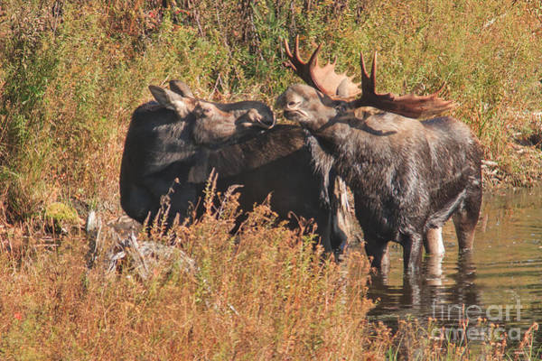 Photograph - Moose Kiss by Charles Kozierok