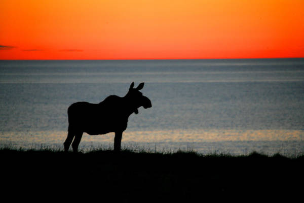 Gros Morne Photograph - Moose Silhouetted At Sunset, Gros Morne by Robert Postma
