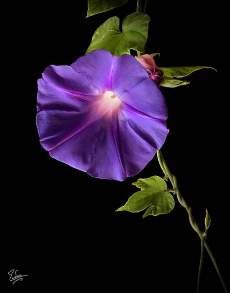 Photograph - Morning Glory by Endre Balogh