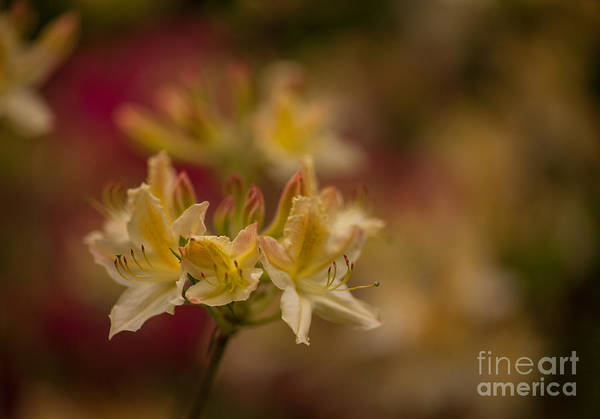 Rhododendrons Photograph - Morning Glow by Mike Reid
