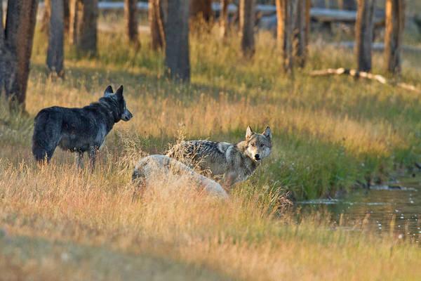 Alpha Wolf Wall Art - Photograph - Morning Glow by Sandy Sisti