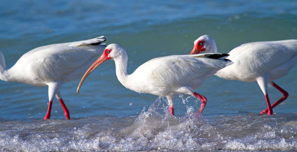 White Ibis Wall Art - Photograph - Morning Stroll by Betsy Knapp