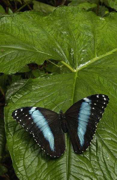 Photograph - Morpho Butterfly Morpho Achilles by Pete Oxford